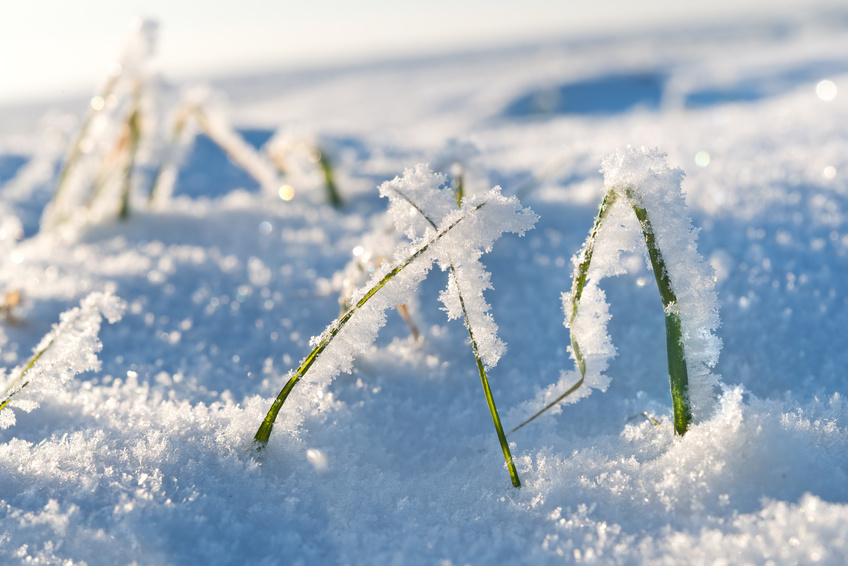 Winterroggen