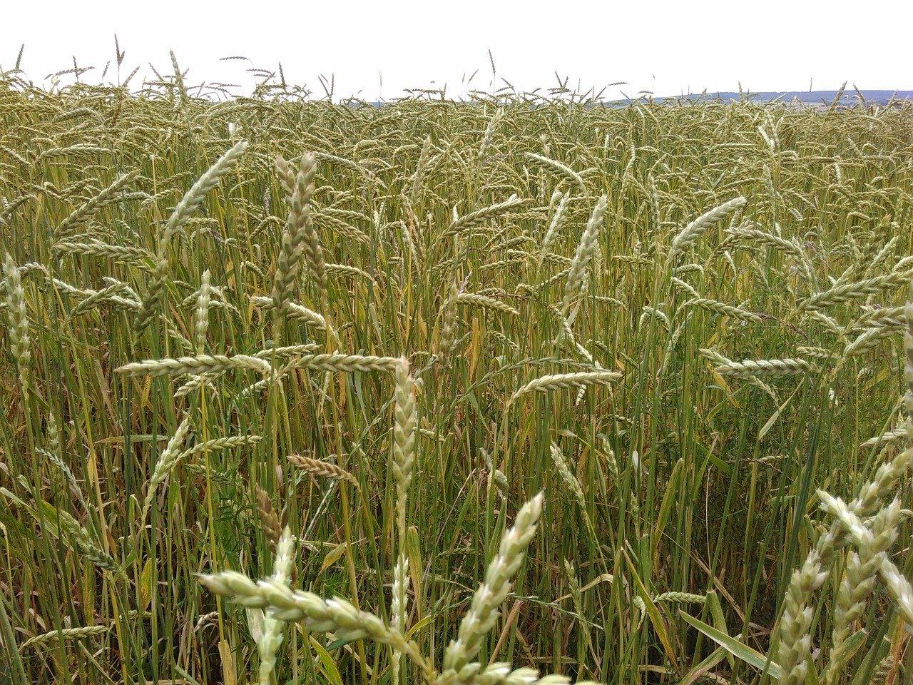 Dinkel Getreide