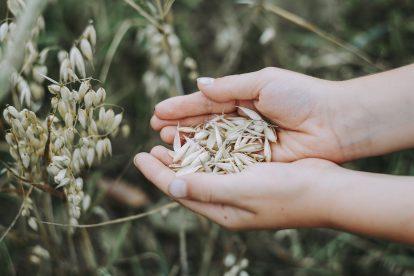 Hafer Getreide