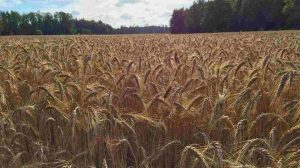 Triticale