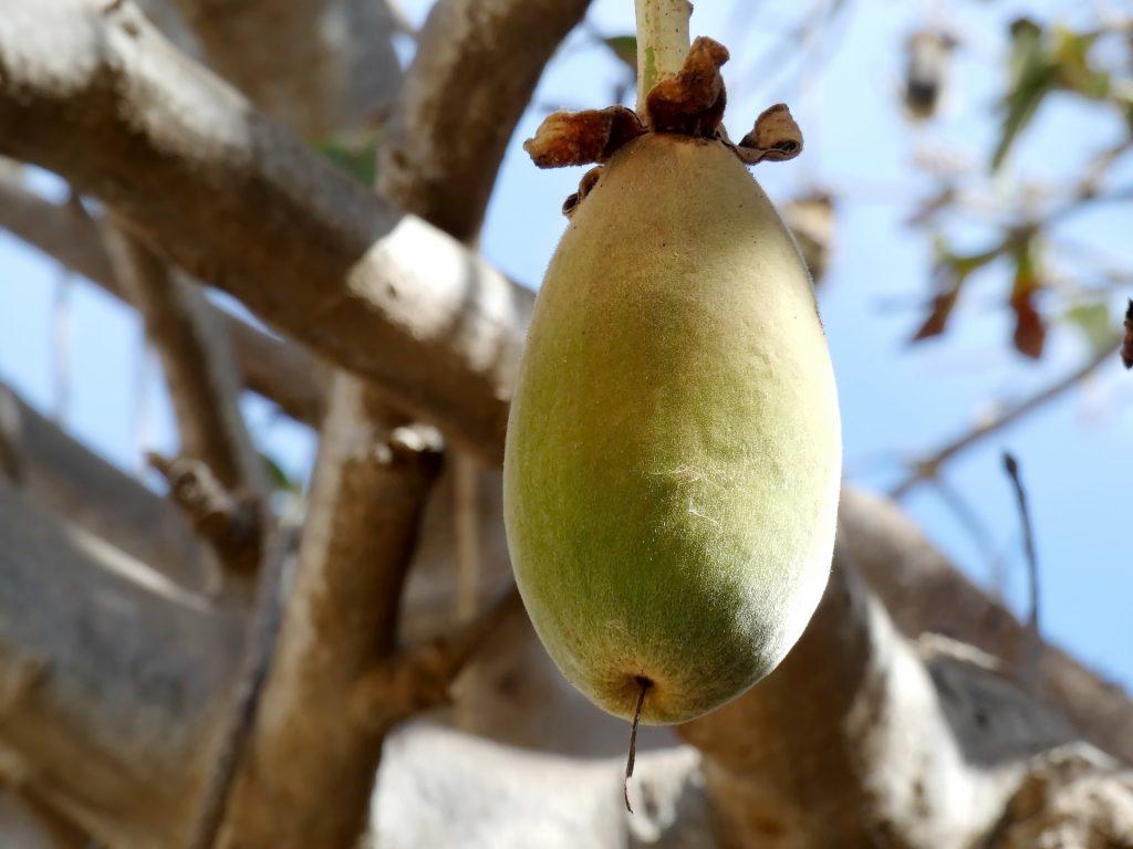 Baobab 83